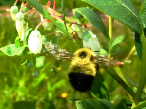 native bumblebee