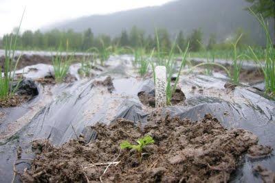 ice-cap-organics-plant-a-taj-mahal-marigold-from-helmers-stock