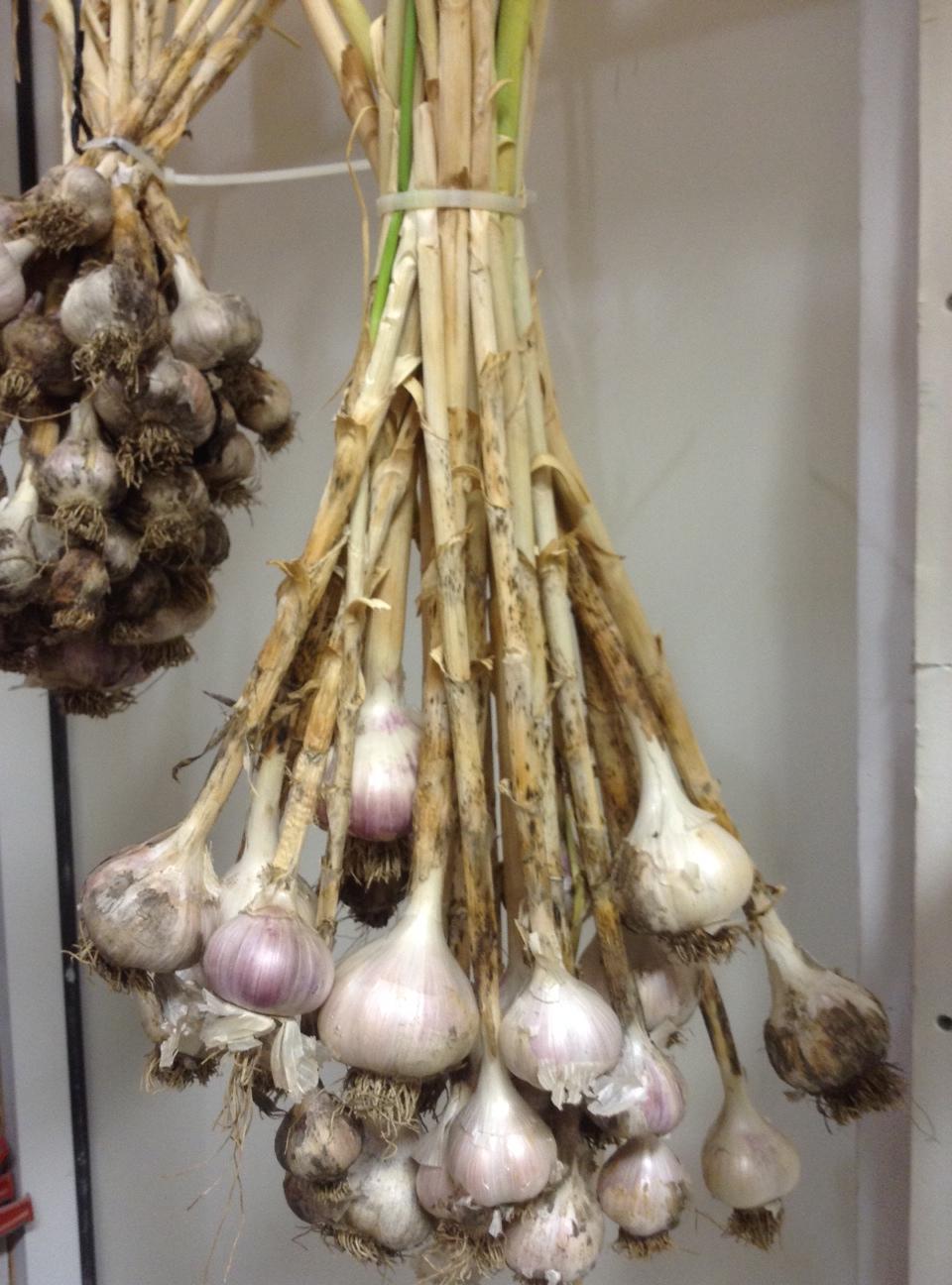 garlic-zap-strap