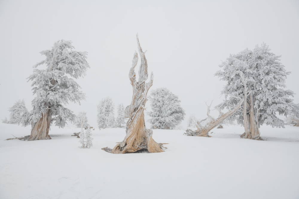 Photos taken in ancient bristlecone forests found in Nevada and California.